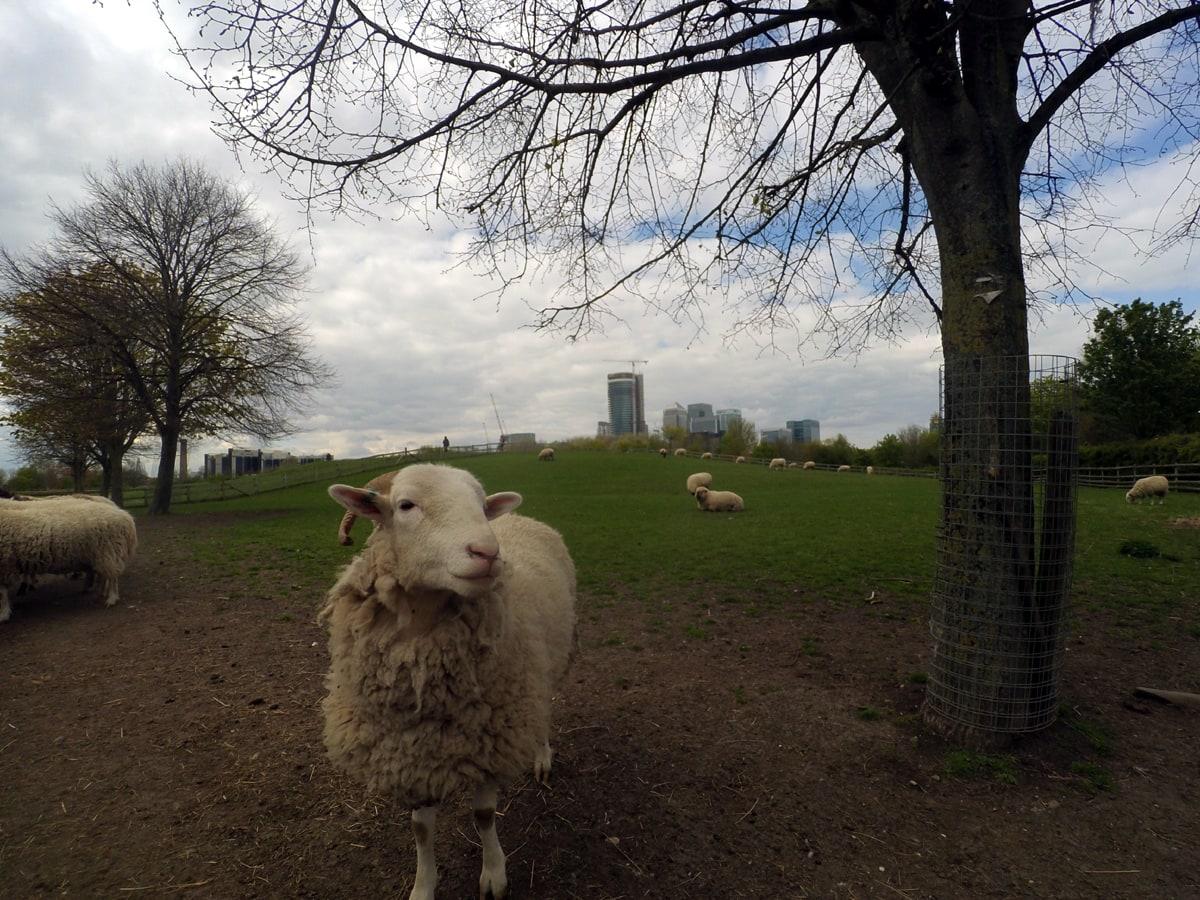 Mudchute Farm w Londynie