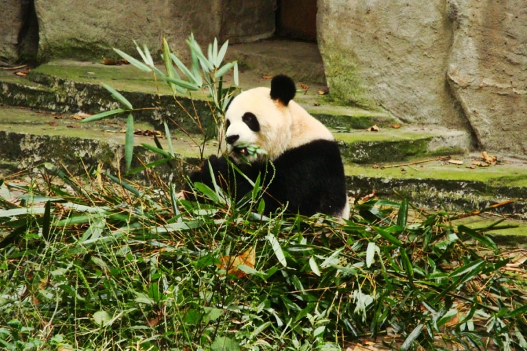Chengdu. Rezerwat pandy wielkiej