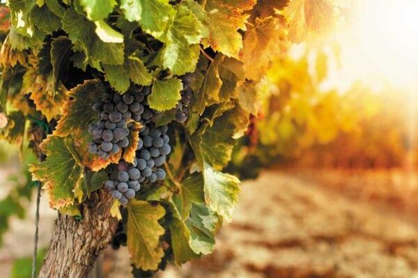 Narodowy Dzień Wina